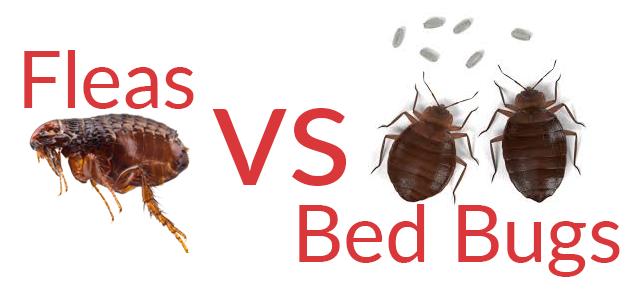 Bed Bug Bites Vs Flea Bites Ajet Pest Control